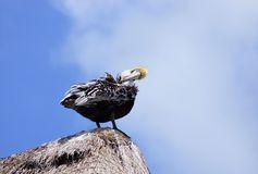 Pelican at roof top Royalty Free Stock Photos