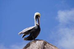 Pelican at roof top Stock Photo