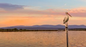 Pelican roosting at Mallacoota. Pelican roosting on a boat mooring in Mallacoota top lake at sunset Stock Image