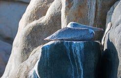 Pelican roosting on Pelikan rock ledge in Cabo San Lucas Baja Mexico Royalty Free Stock Image