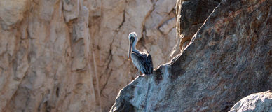 Pelican roosting on Pelikan rock ledge in Cabo San Lucas Mexico Stock Photography