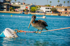 Pelican on a Rope Stock Photo