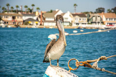 Pelican on a Rope Stock Images