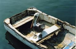 Pelican in Rowing Boat Stock Image