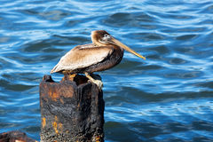 Pelican on a rusty pile. Against water Royalty Free Stock Photos
