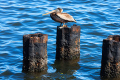 Pelican on a rusty pile. Against water Stock Photos