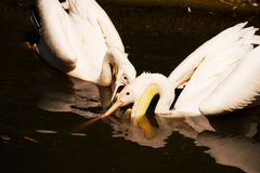 Pelican's food fight Stock Photo