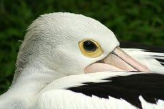 Pelican's Head Stock Image
