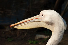 Pelican's head Royalty Free Stock Photos
