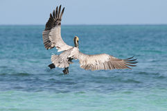 Pelican's take-off. Wild pelican taking off sea water and flying away Royalty Free Stock Image