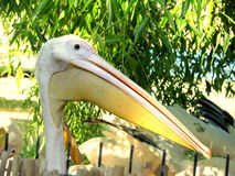 Pelican. Sad pelican face at Bucharest Zoo Royalty Free Stock Photos