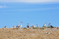 Pelican sanctuary and marine birds Royalty Free Stock Images