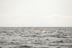 Pelican on sea Stock Photography