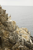 Pelican at sea cliff covered by guano Royalty Free Stock Images