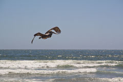 Pelican at the sea. Flying pelican at the coast of La Serena, Chile Stock Image