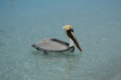 Pelican at the sea. Pelican with golden head and light blue eyes at the caribbean sea Royalty Free Stock Photos