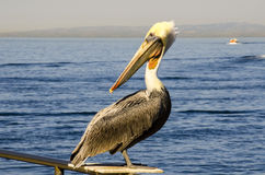 PELICAN AND SEA Stock Photography