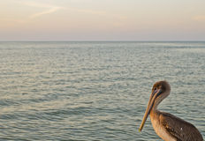 Pelican in the sea Royalty Free Stock Image