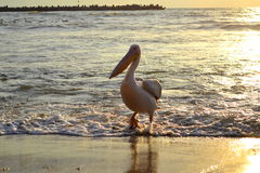 Pelican in sea on sunrise Stock Photography