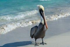 Pelican sea water Stock Photos
