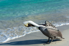 Pelican sea water Stock Images