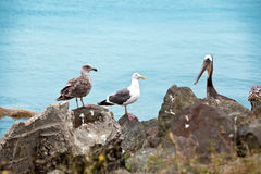 Pelican and Seagul Royalty Free Stock Photography