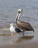 Pelican and Seagull. A pelican and seagull standing together on wet shoreline royalty free stock photos