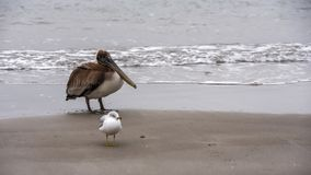 Pelican and Seagull on the beach royalty free stock photography