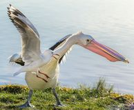 Pelican and seagull Stock Images