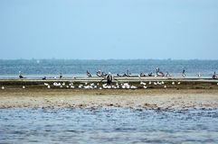 Pelican and Seagull Island. A large group of Pelicans and sea gulls sit together on a sand bar royalty free stock photo