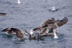 Sea birds festing Royalty Free Stock Photo