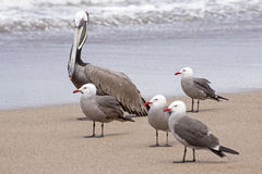 Pelican and seagulls by the seashore Stock Photo