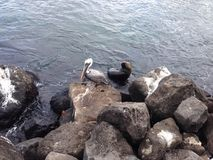 Pelican and a seal Royalty Free Stock Photos