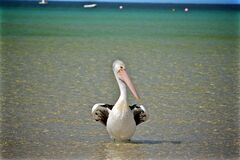 Pelican on seashore Royalty Free Stock Image