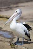 Pelican at seashore Royalty Free Stock Photography