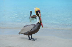 Pelican at the seaside and pelican at the sea. Pelican with golden head and light blue eyes at the caribbean seaside, and brown pelican swimming behind Royalty Free Stock Images