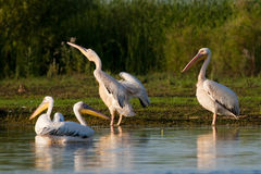 Pelican Shaking Royalty Free Stock Photos