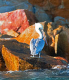Pelican shining in the sun on Pelikan Rock in Cabo San Lucas Baja Mexico Royalty Free Stock Images
