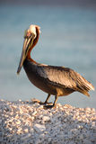 Pelican on the shore during sunset Stock Photo