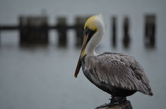 Pelican Side View. On a piling in Palacios, Texas Royalty Free Stock Photos