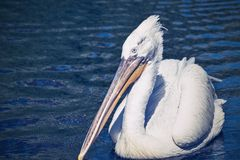 Pelican sideways on an empty water surface Royalty Free Stock Photo