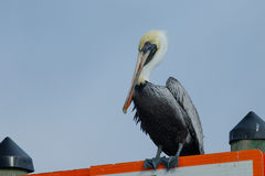 Pelican on sign. Pelican perched on a sign in Crystal River, FL Stock Photography
