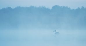 Pelican silhouette on a lake Stock Images
