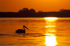 Pelican Silhouette at sunrise Stock Photos