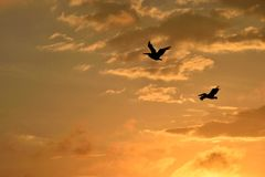 Pelican silhouette at sunset, Florida Stock Photo