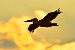 Pelican silhouette Royalty Free Stock Images