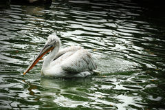 Pelican in Singapore Zoo. Close up of Pelican in Singapore Zoo Stock Photos