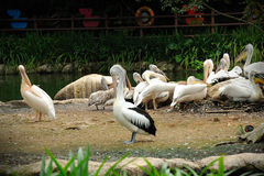 Pelican in Singapore Zoo. Close up of Pelican in Singapore Zoo Stock Images