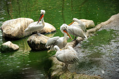 Pelican in Singapore Zoo Royalty Free Stock Image