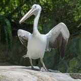 Pelican in the Singapore Zoo stock photos